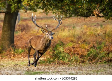 The wild deer of Richmond park in London, UK