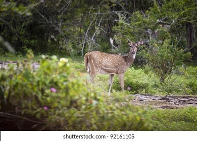 Wild deer (sambar or axis axis) in Mudumalai National Park, India