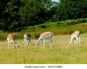 Wild deers in the English park