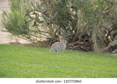 Wild Desert Rabbit Hare
