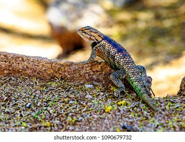 Wild Desert Spiny lizard found in the Sonoran Desert of Phoenix Arizona