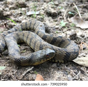 Wild diamondback watersnake