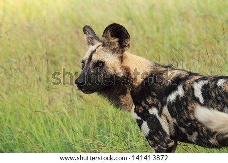 wild dog canine predator carnivorous mammal that lives in African savannas herd kruger national park south africa