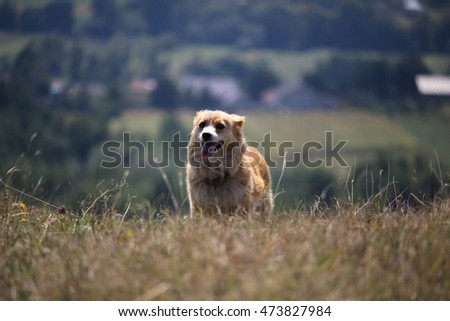 Wild dog in the Carpathian Mountains , Romania