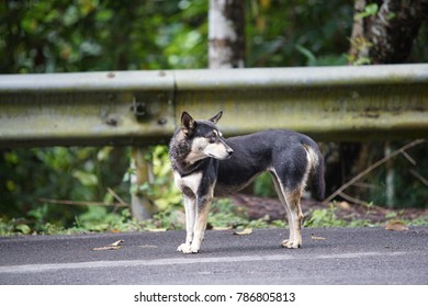 Wild dog in Chiang Mai, Thailand