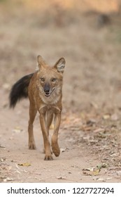 Wild Dog (Cuon alpinus) - Eye on the Target