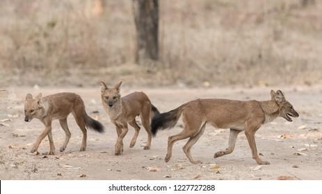 Wild Dog (Cuon alpinus) - Gather Round