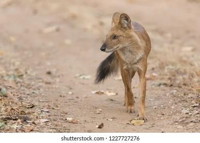 Wild Dog (Cuon alpinus) - Keep Together
