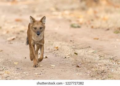 Wild Dog (Cuon alpinus) - Lone Runner