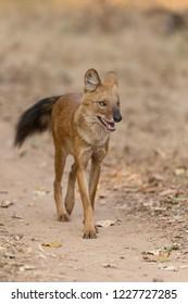 Wild Dog (Cuon alpinus) - On the Prowl