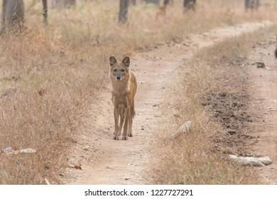Wild Dog (Cuon alpinus) - On Alert