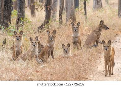 Wild Dog (Cuon alpinus) - The Pench Pack