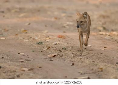 Wild Dog (Cuon alpinus) - Running Mate