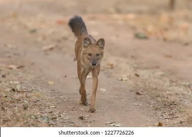 Wild Dog (Cuon alpinus) - Tail Up