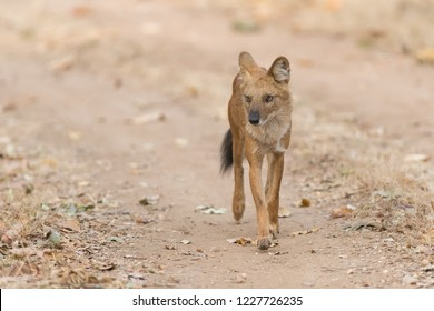 Wild Dog (Cuon alpinus) - Watch Out