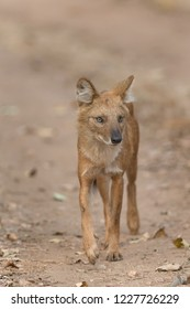 Wild Dog (Cuon alpinus) - Watching