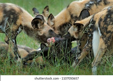 Wild Dog hunting in Botswana, buffalo  calf with predators. Wildlife scene from Africa, Moremi, Okavango delta. Animal behaviour, pack pride of African wild dogs offensive attack on calf, Botswana