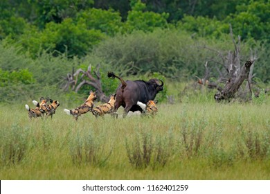 Wild Dog Hunting in Botswana, buffalo cow with predator. Wildlife scene from Africa, Moremi, Okavango delta. Animal behaviour, pack pride of African wild dogs offensive attack on cow, fast running.