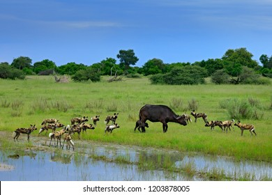 Wild Dog hunting in Botswana, buffalo cow and calf with predator. Wildlife scene from Africa, Moremi, Okavango delta. Animal behaviour, pack pride of African wild dogs offensive attack on young calf.