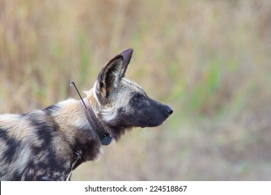 Wild Dog (Lycaon pictus) with radio collar against blurred natural background, South Africa