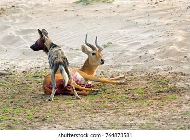 Wild Dog (painted Dog)  killing a puku in South Luangwa National Park Zambia