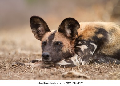 Wild dog portrait.