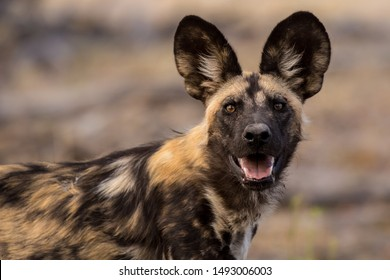 Wild dog portrait from africa