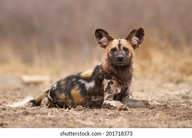 Wild dog resting after a good meal.
