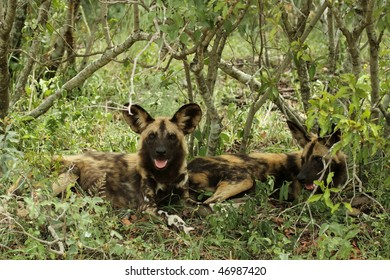 Wild dog resting in shade
