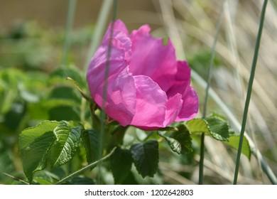 Wild or dog rose