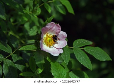 Wild or dog rose with bumblebee