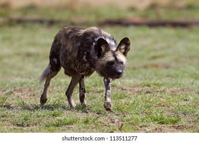 Wild dog stalking; Lycaon pictus