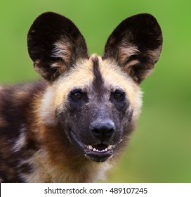 Wild dog staring straight into the camera. Lycaon pictus