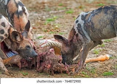 Wild Dogs feeding on a recent puku kill in South Luangwa National Park, Zambia