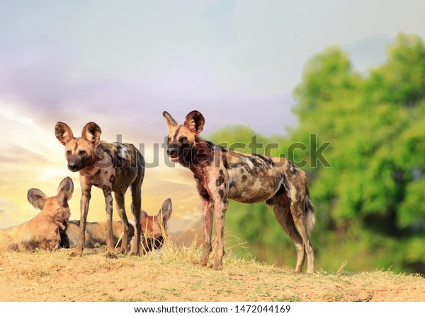 wild-dogs-lycaon-pictus-watching-600w-14