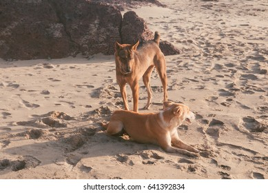 Wild dogs playing on the beach