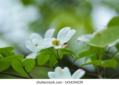 Wild dogwood blossoms in Brighton Recreation Area, Brighton, Michigan.