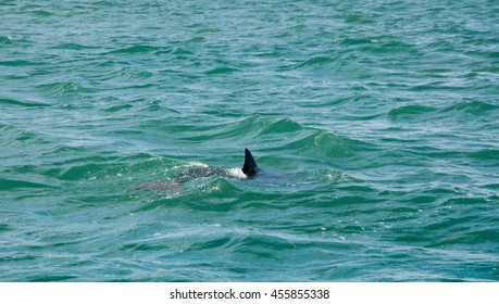 Wild dolphin swimming in the coastal Indian Ocean waters with visible fin off Penguin Island in Rockingham, Western Australia/Dolphin Fin/Rockingham, Western Australia