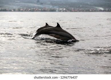 Wild Dolphins in Lovina Beach of Bali, Indonesia.