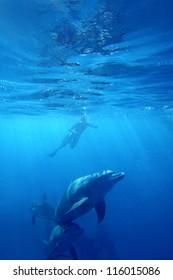 Wild Dolphins swimming in blue ocean in Zanzibar