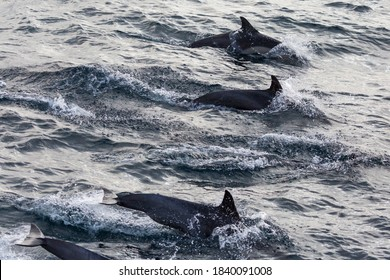 Wild dolphins swimming in the waters outside of Santa Cruz Island in Channel Islands National Park (California).