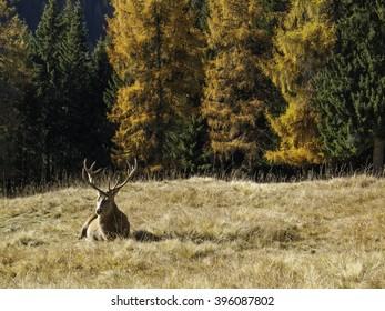 Wild, dominant Cervus elaphus Red stag male