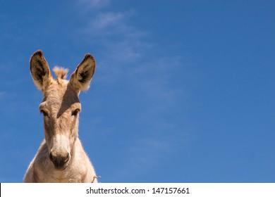 Wild donkey, baja california sur. Mexico.