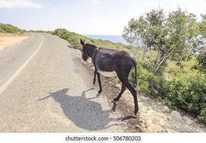 Wild donkey. Karpasia. Northern Cyprus