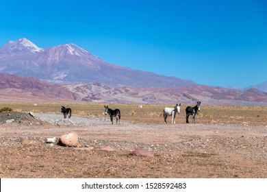 Wild donkeys looking at camera with colorful mountain background in Atacama desert, Chile
