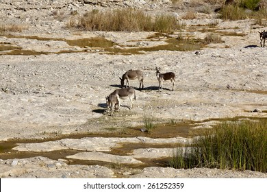 Wild donkeys are often found in Oman