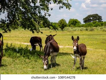 Wild donkeys at  the Okavango Delta in Botswana during summer period