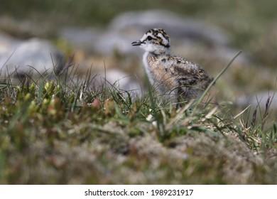 Wild Dotterel (Charadrius morinellus) chick on a Scottish Mountain Plain