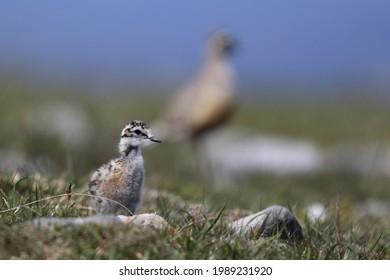 Wild Dotterel (Charadrius morinellus) chick on a Scottish Mountain Plain. Adult in background bokeh