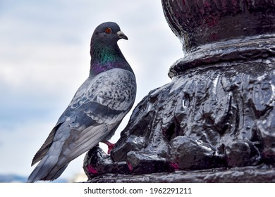 Wild dove of gray color close-up. A large gray wild pigeon sits on the monument. The common pigeon is sitting proudly, captured from the side.